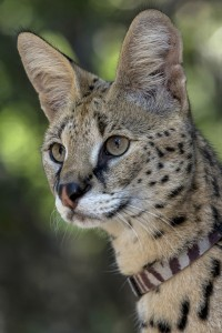 Shani, a serval, met campers up close during Carnivore Campout at the Zoo.