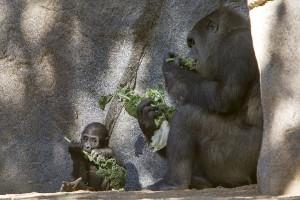 Gorillas Joanne, Imani