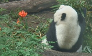 Gao Gao was busy munching on his leafy bamboo this morning. Image taken from Panda Cam.