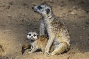Meerkat and pup