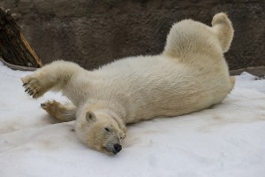 Kalluk thinks snow is the PERFECT enrichment for polar bears!