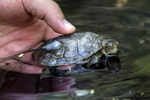 Pond turtle release