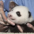 We've put together a fun video showing some of panda Xiao Liwu's milestones. The video was made for our San Diego Zoo Kids channel, a television broadcast channel featuring programming about unique and endangered animals species designed to entertain and educate guests about wildlife around the world.