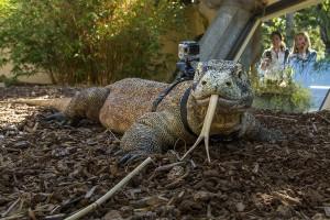Komodo dragon Sunny with cam