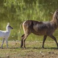 Luke's mother, a traditionally colored ellipsen waterbuck, was pregnant for eight months before giving birth to Luke in the exhibit. Luke looks like the negative of his mom: instead of a chestnut-brown coat, Luke's is bright white.
