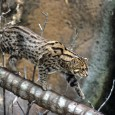I was surprised, therefore, when Aimee called me the other morning to say that Parvati was chittering, making the sound an adult female fishing cat makes when she is in estrous and wants the attentions of a male.