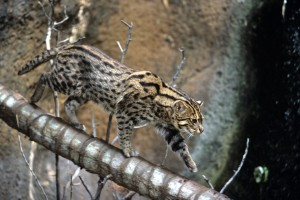 Fishing cats are native to southern Asia.