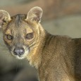 The fossa also has an amazing variety of weird vocalizations. It can hiss, snarl, cluck, and make an extremely high-pitched squeal, just to name a few.... Listen to the amazing sounds they made during a visual introduction: