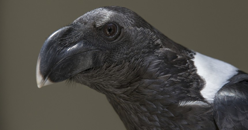 Raven | 9 Animal Superstitions You Shouldn't Believe