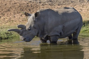 Nola is one of two northern white rhinos living at the Safari Park and one of just six in the world.
