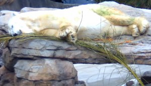 I snapped a photo of this bear from the Polar Cam. Any guesses as to who looks so relaxed?