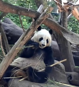 Panda Cam caught Bai Yun this morning demonstrating her bamboo-eating skills.