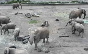 A screen shot from our Elephant Cam taken on November 11 shows 10 of our elephants. Can you find them all?