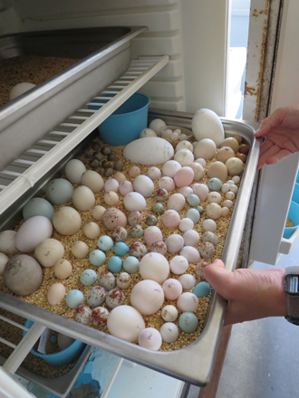 This is the fridge where the APC stores a lot of their unhatched eggs. These eggs are preserved to show other keepers from around the world, examples of what can happen to eggs. We learned that sometimes if a bird has not hatched then the keepers will open an egg by pipping it. A pip is an opening that the bird makes to get out of the egg to help it hatch.