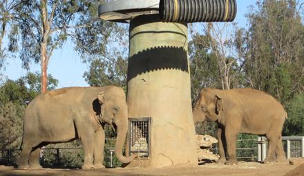 These two female Asian elephants, Smitty, and Devi, are inseparable friends. They eat together, play together, and spend nearly every waking moment by each other's side. Apparently, one night the two needed to be separated into different quarters. The next morning, they reunited by thoroughly checking and smelling each other and intertwining their trunks in an embrace.