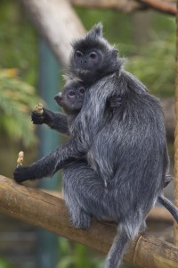Watch the antics of the Zoo's silvered leaf langurs!