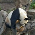 """We don't get to see much of our senior panda, Gao Gao, on Panda Cam. But rest assured he is looking good, eating well, and, in the words of San Diego Zoo keeper Karen Scott, he seems """"happy."""" Gao is even at his ideal weight: 170 pounds (77.2 kilograms)."""