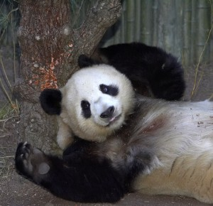 Bai Yun is a pro at dealing with activity around Panda Trek.