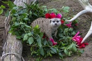 Meerkat Wreath