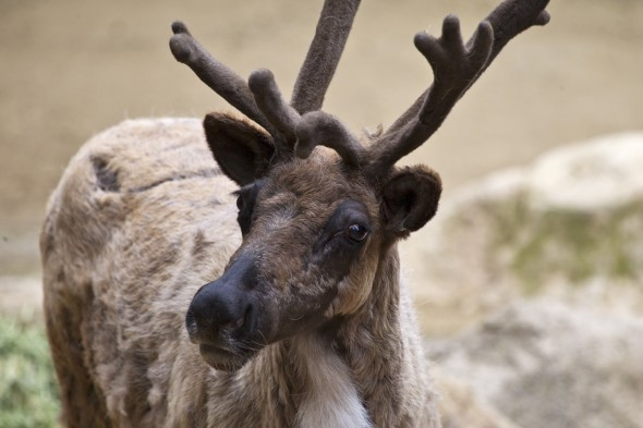 Wild & Fun: 10 Festive Facts About Reindeer