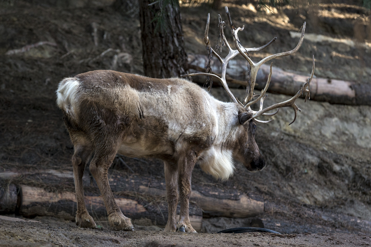 10 Festive Reindeer Facts