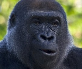 Gorilla Jessica