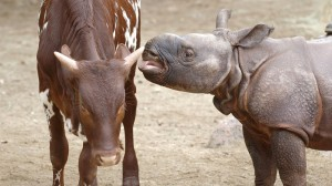 RHINO WET WILLY: RHINO CALF INTRODUCED TO ANKOLE CALF AT SAN DIEGO ZOO SAFARI PARK A 6-week-old greater one-horned rhino calf appears to stick his tongue in the ear of his new playmate, an 8-month-old Ankole calf, at the Ione and Paul Harter Animal Care