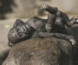 Joanne gorilla