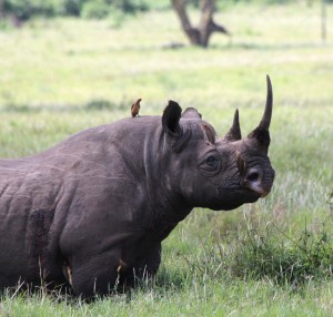 One of about 60 endangered black rhino in Lewa Conservancy. Lewa's work has dramatically reduced poaching in the area, giving these rhino a fighting chance.