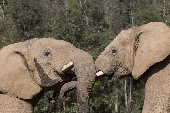 Elephant | 9 Exotic Mating Rituals of the Animal Kingdom