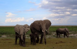 Watchful eyes of members of an elephant family group in Amboseli National Park. We know a lot about these elephants thanks to the research of the Amboseli Trust for Elephants.