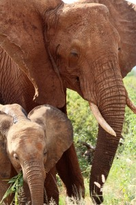A mother elephant and her calf surprised the author in Kenya.