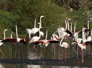 Get the Party Started: Once their courtship ritual is rolling, all the flamingos in this flock will have their wings out.