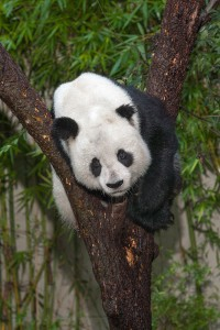 Gao Gao has been in fine form lately, climbing trees and scent marking.