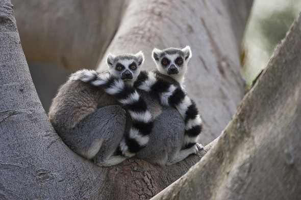 Ring-tailed lemur| 9 Exotic Mating Rituals of the Animal Kingdom