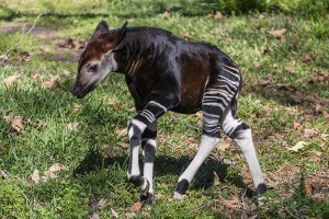 Amaranta, a four-week-old male okapi calf, explored his outdoor habitat for the first time today at the San Diego Zoo Safari Park.