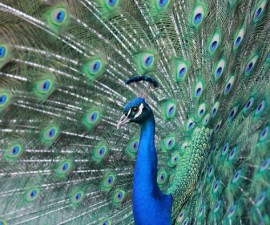 Peacock| 9 Exotic Mating Rituals of the Animal Kingdom
