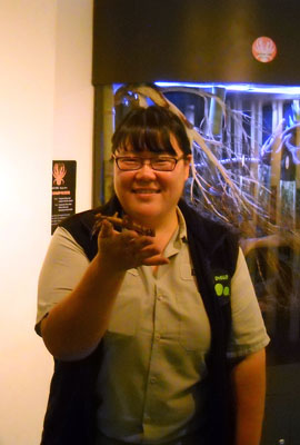 Ms. Chang, a senior keeper who has worked at the Zoo for about 8 years, led our visit. Ms. Chang is pictured here with one of the many species of stick insect at the Zoo; this particular specimen is a female. One of the coolest things about stick insects is their amazing form of camouflage. When threatened, females curl their ovipositors over their heads to mimic scorpions, and have even been known to accidentally fling eggs at attackers if startled during hatching season!