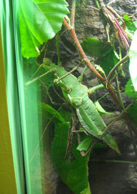 This giant green insect is a jungle nymph! Jungle nymphs are Malaysian leaf-eaters with a distinct method of self-defense. When threatened they snap their thorny legs together in an attempt to impale their attacker, a reaction shared by stick insects and some other bugs.