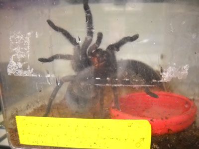 This agile spider is a male Brazilian black tarantula, a predatory arachnid that eats crickets and other small insects. The tag is yellow, which shows it is a venomous insect; the tag has the species' name and individual's gender indicated on it as well. This specimen's giant jaws- which look like eyes in this picture- hold two hollow venomous fangs.