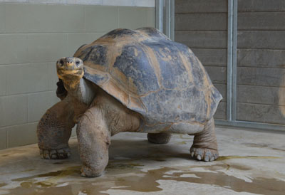 Our first stop was to meet the Galapagos tortoises, where the average San Diego weather is similar to their natural environment near the equator. However, on cold nights or when their habitat is getting cleaned, they are enclosed in their heated barn. In this room, the tortoises get special treatment, as the heated floors, which range from the 70's-80's, help keep the tortoises happy and comfortable.