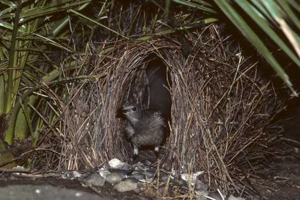 Bowerbird | 9 Exotic Mating Rituals of the Animal Kingdom