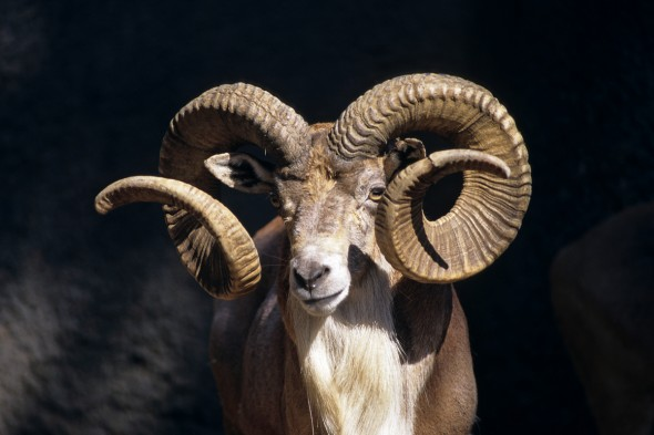 Goat and sheep | 9 Exotic Mating Rituals of the Animal Kingdom
