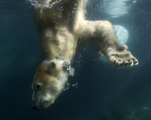Collared Polar Bear at San Diego Zoo Participates in US Geological Survey Energetics Research  	 Tatqiq, a 14-year-old polar bear dives to the bottom of her pool this morning at the San Diego Zoo, while wearing a collar outfitted with an accelerometer, th