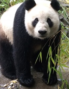 As the first surviving panda cub born in the US, Hua Mei made headlines. Her life has continued to be amazing!