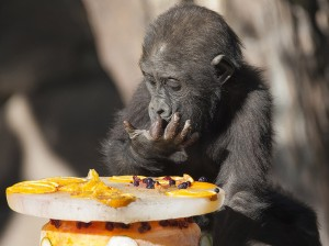 Joanne, a western lowland gorilla, digs out the frozen treats inside her first birthday cake Thursday morning at the San Diego Zoo Safari Park.