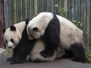Bai Yun and Gao Gao are a successful mating pair—they have five offspring together.