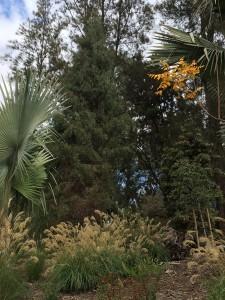 Saharan cypress