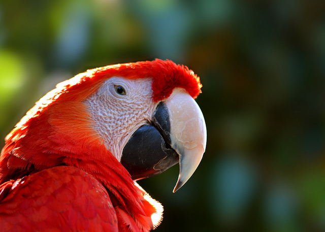 Scarlet macaw deric wagner