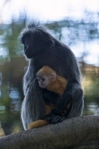 At birth, silvered leaf langur babies are bright orange.